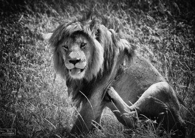 reisefotografie_afrika_tierwelt_alter löwe_karin_trinh